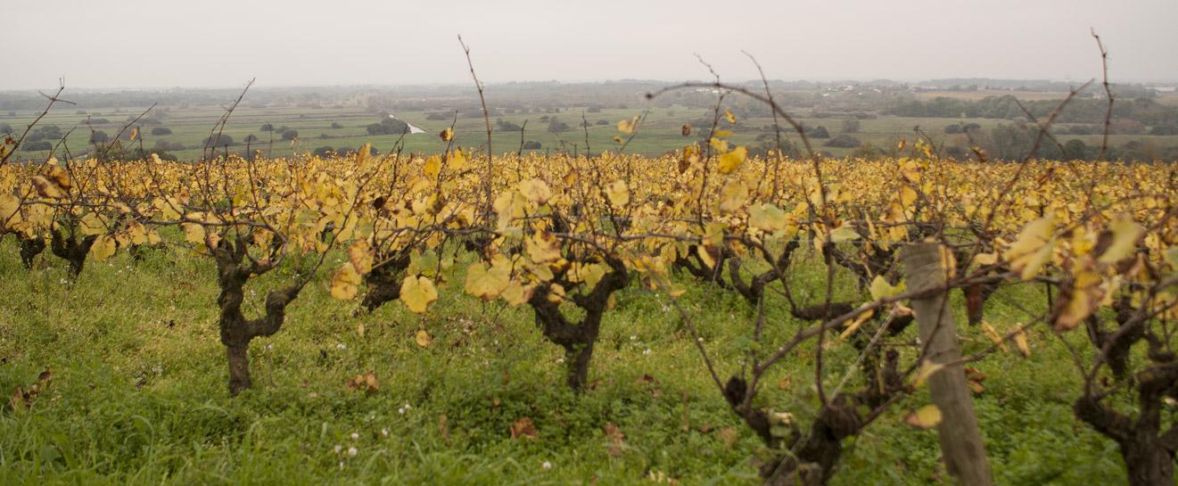 Vignes de la Butte de la Roche